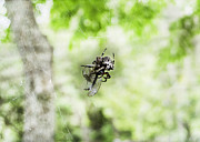 Cartoon Spider Prints - Spider Candy Print by Judy Hall-Folde