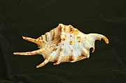 Sea Shell Originals - Spider Conch by Bill Morgenstern