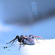 Spider In Blue Tone Print by Tommy Hammarsten
