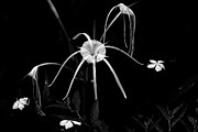 White Flower Photos - Spider Lily by Aidan Moran