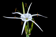 Amaryllidaceae Prints - Spider Lily Beauty DB Print by Rich Franco