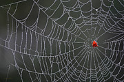 Spider Digital Art - Spider Web by Christina Rollo