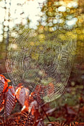 Silk Water Prints - Spider Web Print by Edward Fielding