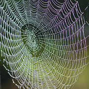 Biological Photo Acrylic Prints - Spider Web Acrylic Print by Heiko Koehrer-Wagner