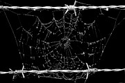 Cobwebs Framed Prints - Spider web on barbed wire Framed Print by Tommy Hammarsten