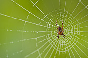 Predaceous Prints - Spider web with dew drops with spider on web Print by Jim Corwin