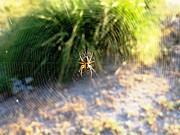 Faouzi Taleb - Spider