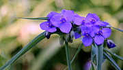 Rosanne Jordan - Spiderwort Blues