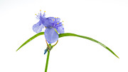 Neighbours Framed Prints - Spiderwort Framed Print by Gregory Overcashier