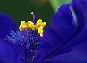 Suzy Piatt - Spiderwort Up Close