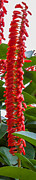 Epiphyte Posters - Spike of red flowers Poster by Craig Lapsley
