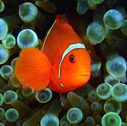 Martha Lyle - Spinecheek anemone fish