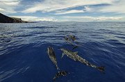 Brad Scott - Spinner Dolphins of Lanai