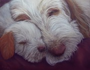 Dogs Prints - Spinone Italiano All Tucked In Print by Barb Yates