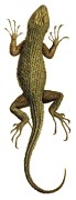 Science Photo Library - Spiny lizard