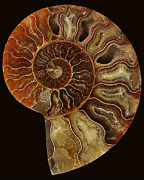 Seashell Pyrography Framed Prints - Spiral Up Framed Print by Iris Wright