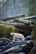 Free Spirit Photos - Spirit Bear on the Rocks by Bill Cubitt