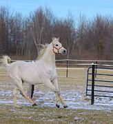 Spirited Horse Print by Kathleen Struckle