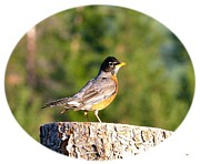 Will Borden Framed Prints - Spirited Robin Framed Print by Will Borden