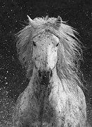Camargue Horse Posters - Splash Poster by Carol Walker