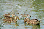Baby Mallards Photos - Splash by Fraida Gutovich