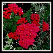 Gail Matthews - Splash of Red Berries