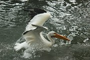 Bonita Hensley - Splashing Pelican