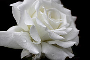 Ivory Rose Posters - Splendor of a White Rose Flower  Poster by Jennie Marie Schell