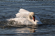 Splish Splash Posters - Splish Splash Mute Swan Poster by Jlt Photography
