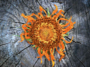 Split Sunflower Print by Angela Wright