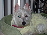 Westie Pup Posters - Spoiled and Loving It Poster by Dianne Wendell