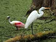 Spoonbill And Egret Print by Theresa Willingham