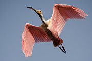 Spoonbill Print by Bill Martin