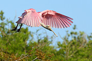Spoonbill Photos - Spoonbill in flight by Richard Mann