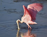 Paulette Thomas Photography Posters - Spoonbill Wings Poster by Paulette  Thomas