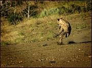 LeeAnn McLaneGoetz McLaneGoetzStudioLLCcom - Spot light on Cheetah Run
