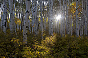 Aspens Metal Prints - Spot of Sun Metal Print by Jeff Kolker