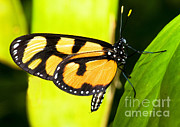 Orange And Black Butterfly Posters - Spotted Amberwing Butterfly Poster by Millard H. Sharp