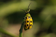 Cucumber Beetle Framed Prints - Spotted Cucumber Beetle Framed Print by Lorri Crossno