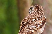 Nick  Biemans - Spotted eagle-owl