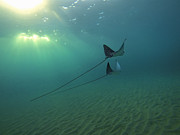 Brad Scott - Spotted Eagle Rays...