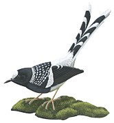 Black Bird Drawings Prints - Spotted forktail Print by Anonymous