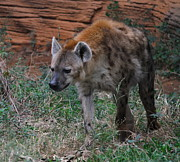 Predator Photos - Spotted Hyena by Cathy Lindsey