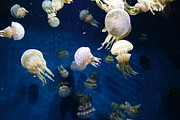 Jelly Fish Prints - Spotted Jelly Fish 5D24951 Print by Wingsdomain Art and Photography