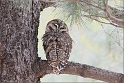 Behm Framed Prints - Spotted Owl Framed Print by Daniel Behm