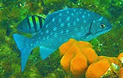 John Malone Art Work Digital Art Metal Prints - Spotted Surgeon Fish Metal Print by John Malone