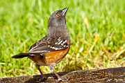 Jeff Goulden - Spotted Towhee Looking Up