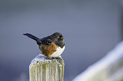 Thomas Chamberlin - Spotted Towhee