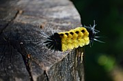 Sharon L Stacy - Spotted Tussock Moth...