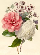 Camellia Prints - Spray of Three Flowers Print by Marie Anne